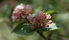 Korean or spice bush viburnum, fragrant shrub needs morning sun for blooms, afternoon shade good drainage