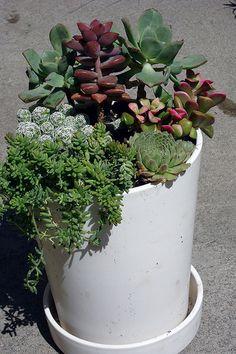 i love succulents.