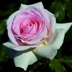 Francis Meilland® Hybrid Tea Rose - $30.00 This rose has won several international awards and known for it's exceptional disease resistance!!