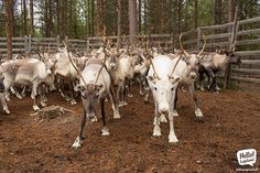 Reindeer Mafia. Knows where you are and what you do.