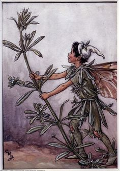 The Goose-Grass Fairy, painted by Cicely Mary Barker for the first edition of her book 'Flower Fairies of the Wayside' (1948).  For production reasons, this illustration no longer appears in the book today.    Author / Illustrator  Cicely Mary Barker
