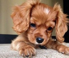Are you looking for Cocker Spaniel dog names? Here is a collection of funny and cute Cocker Spaniel male/female dog name ideas. Cute Baby Animals, Animals And Pets, Funny Animals, Cute Puppies, Cute Dogs, Dogs And Puppies, Doggies, Funny Dogs, Baby Dogs
