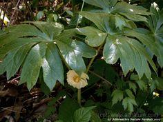 may apple flower pictures Podophyllum peltatum american mandrake