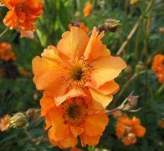 Geum 'Fireball' 1 flower