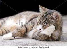 Tomcat Animal | Tomcat Stock Photos, Tomcat Stock Photography, Tomcat Stock Images ...