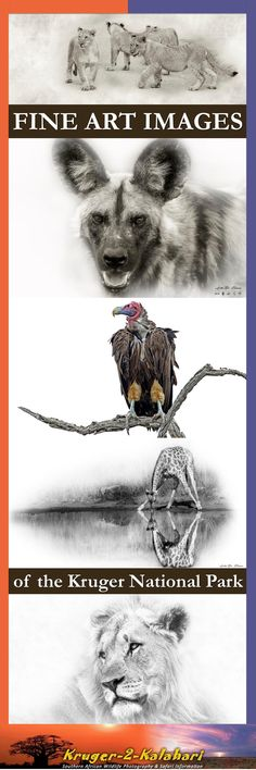 Andre Bosman - interview with a Fine Art Wildlife Photographer Wildlife Photography, Fine Art Photography, Animal Action, Male Lion, Kruger National Park, Wild Dogs, Travel Photographer, Art Images, Lions