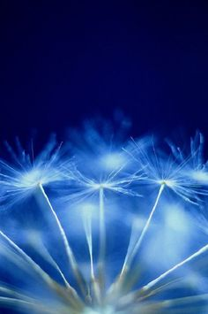 Blue and Dandelion ...2 of my faves !