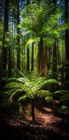 The New Zealand native bush Fern tree is a remarkable species of tree fern that displays a narrow brown trunk & elegant green leaves with shimmering undersides! Mother Earth, Mother Nature, Foto Nature, Beautiful Places, Beautiful Pictures, Tree Fern, Paludarium, Tree Forest, Amazing Nature