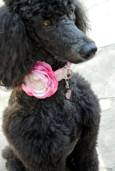 Darla ready for spring! New light pink ombre flower, ruffle/glitter collar (Wagologie) and sparkle ID tag (from Pet Blessings)