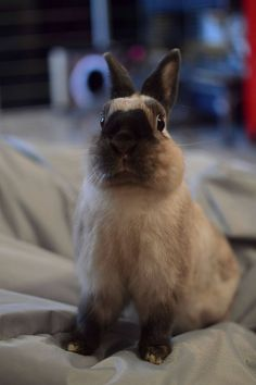 Something or someone has this bunnies attention.