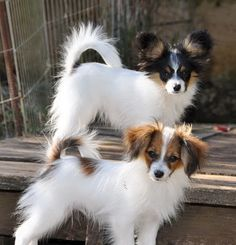 Papillon (the one with the erect ears) or phalene (the one with the Drooped ears)