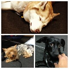 Happy National Puppy Day from @Klout! Raiden (Husky), Padme (Yorkie), Basil (Chihuahua-dachshund mix)