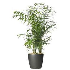 chrysalidocarpus lutescens krukv xt arekapalm pinterest v xter och vardagsrum. Black Bedroom Furniture Sets. Home Design Ideas