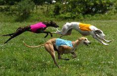 5º LUGAR: GREYHOUND   Com altura média de 76,2 cm esse cachorro tem a velocidade como sua especialidade. O GREYHOUND é uma raça nobre, e tem origem Árabe.