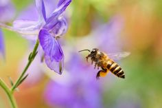 Ako do záhrady prilákať včely? - Záhrada.sk Insects, Bee, Gmail, Sang, Animals, Beehive, Animais, Animales, Animaux