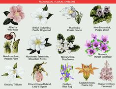 The accompanying table lists the floral emblems of Canada and its provinces and territories. Nova Scotia, Pacific Dogwood, Clearwater Lake, Flowers Canada, Labrador, Peony Painting, Canadian History, Canada Day, May Flowers