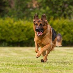 German Shepherd Training Commands Advanced