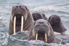 Walrus sighting during a Zodiac cruise off Spitsbergen, in the Svalbard Arctic.