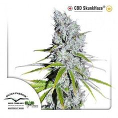 CBD Skunk Haze by Dutch Passion. 3 SEEDS FROM 22.95€. You can buy it in our online shop clicking the photo! #cannabis #ganja #420 #weed #marijuana