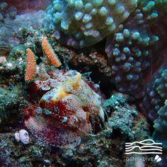 Mantis shrimp by gonnadive #nature #photooftheday #amazing #picoftheday #sea #underwater