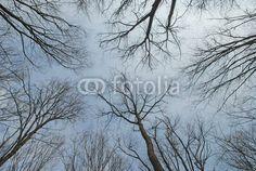 Naked trees toward the grey sky. Forrest of Peris ( Ilfov county - Romania )