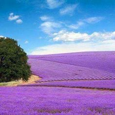 23 Most Beautiful Places to Visit in Texas Lavender Fields in Fredericksburg, TX Camping Places, Places To Travel, Places To See, Travel Destinations, Texas Hill Country, Provence, Fredericksburg Texas, Lavender Fields, Lavander