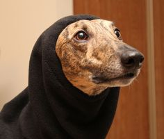 greyhound with snood