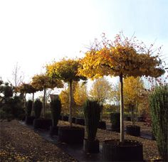 Roof trained specimens of Parrotia persica - Persian Ironwood
