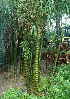 Bambusa ventricosa - Buddhabauch Bambus - 15 Samen