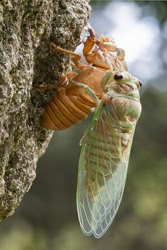A cicada climbing out of its old shed exoskeleton and sitting there to let itself dry.