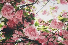 pink blooming trees in spring