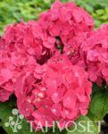 Endless Summer® hortensiat - Tahvoset Garden, Plants, Summer, Summer Time, Lawn And Garden, Summer Recipes, Gardens, Plant, Outdoor