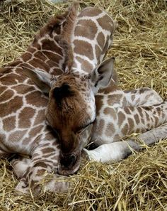 """""""The first thing that happens to a baby giraffe when it is born is a six foot drop onto the ground – it's a hard way to start!"""" The gestation period for a giraffe is between 400 and 460 days. The mother gives birth standing up – the fall breaks the umbilical cord. The calf can stand and run within a few hours."""
