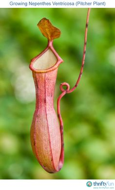This is a guide about growing Nepenthes Ventricosa (pitcher plant). These carnivorous tropical plants can be grown as houseplants under the proper conditions.