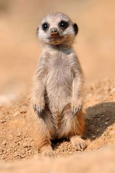 Baby Meerkat Comment voulez-vous résister à ça? Meerkat - Scouting the desert, always on guard against foes and in search of prey. List Of Animals, Animals And Pets, Animals Photos, Animal List, Exotic Animals, Animals In The Wild, Australian Animals, Small Animals, Cute Baby Animals