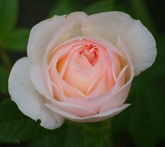 Shrub,English Rose 'Heritage'