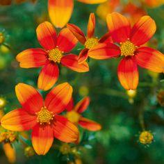 Bidens Plants - Hawaiian Flare Orange Drop - All Flower Plants - Flower Plants - Gardening - Suttons Seeds and Plants