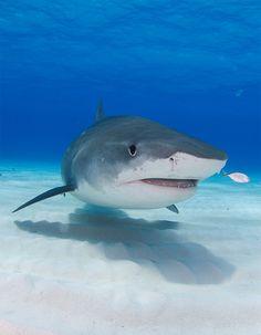 Tiger Shark Recorded Max. Depth: 2600 feet