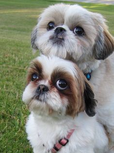 If you adore Shih-Tzu dogs then you will absolutely love our collection of best selling Shih-Tzu T-shirts, mugs, etc. Visit link above to view