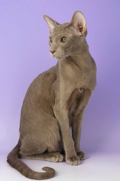 Lilac or lavender Oriental Shorthair - looks like our cat Sophi.