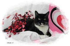 Sylvester is an adoptable Tuxedo Cat in Emporia, KS.  ...