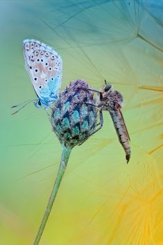 Common Blue Butterfly (Polyommatus icarus) and predator robber fly species on a Centaurea flower bud by Wil Mijer