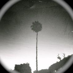 the longest palmtree in Venice Beach