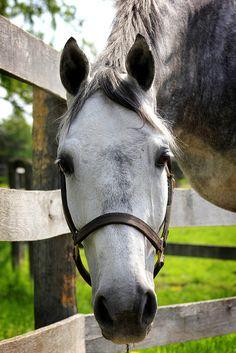"""Treat?"" Sweet dapple grey horse."