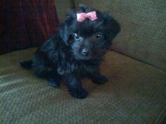 Yorkie-Poo Puppy Yorkie Poo Puppies, Teacup Yorkie, Its My Bday, Dog, Pets, Animals, Diy Dog, Animaux, Yorkshire Terrier