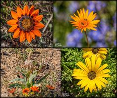 I've been finishing up on the Spring wildflowers that we went to see in the Northern Cape, South Africa.Here are a few closeups of some of the flowers that make up the millions that carpet the Cape in early Spring. Spring Wildflowers, African Flowers, Early Spring, Wild Flowers, Close Up, Planting Flowers, South Africa, Traveling By Yourself, Dandelion