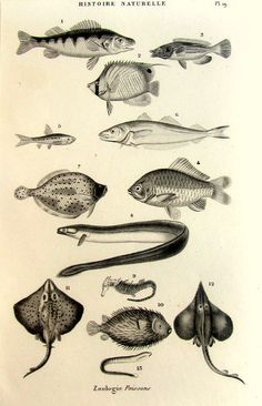 1852 Antique french fishes engraving original by LyraNebulaPrints, $23.95