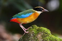 Blue-winged Pitta (Pitta moluccensis) is a passerine bird in the Pittidae family native to Australia and Southeast Asia. It forms a superspecies with three other pittas and has no subspecies. It forms a superspecies with the Indian Pitta (P. brachyura), Fairy Pitta (P. nympha) and Mangrove Pitta (P. megarhyncha).