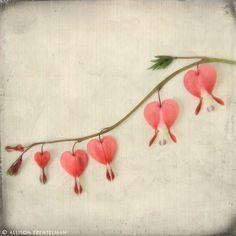 bleeding heart flower tattoos | bleeding hearts