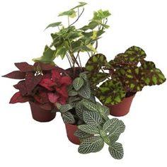 A placer ensemble ou séparées ces mini plantes trouverons facilement une place dans votre intérieur. Plantes dépolluantes.